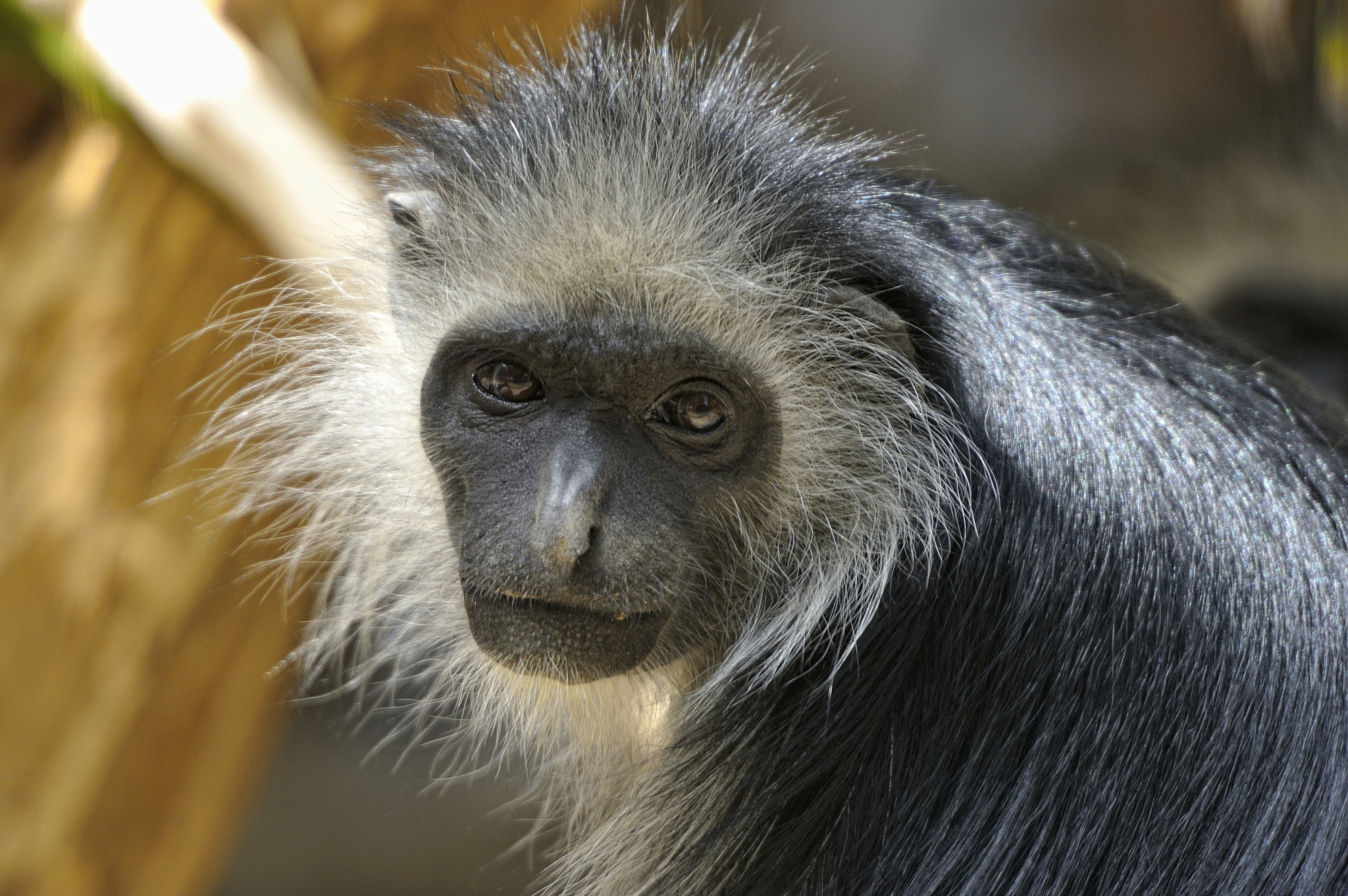 Photograph King Colobus Portrait by Josef Gelernter on 500px
