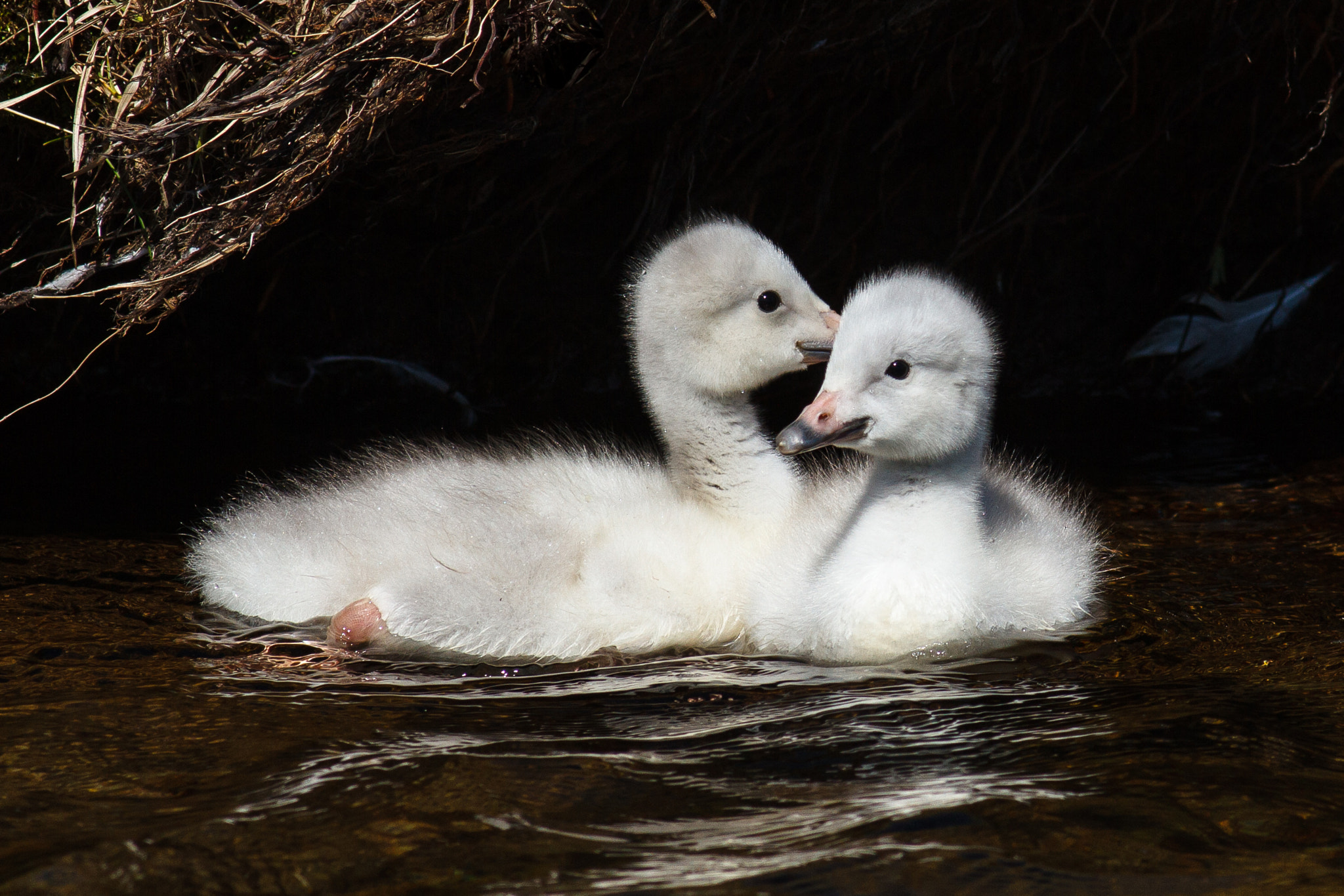 Photograph Whooper Swan chicks by Reynir Skarsgård on 500px