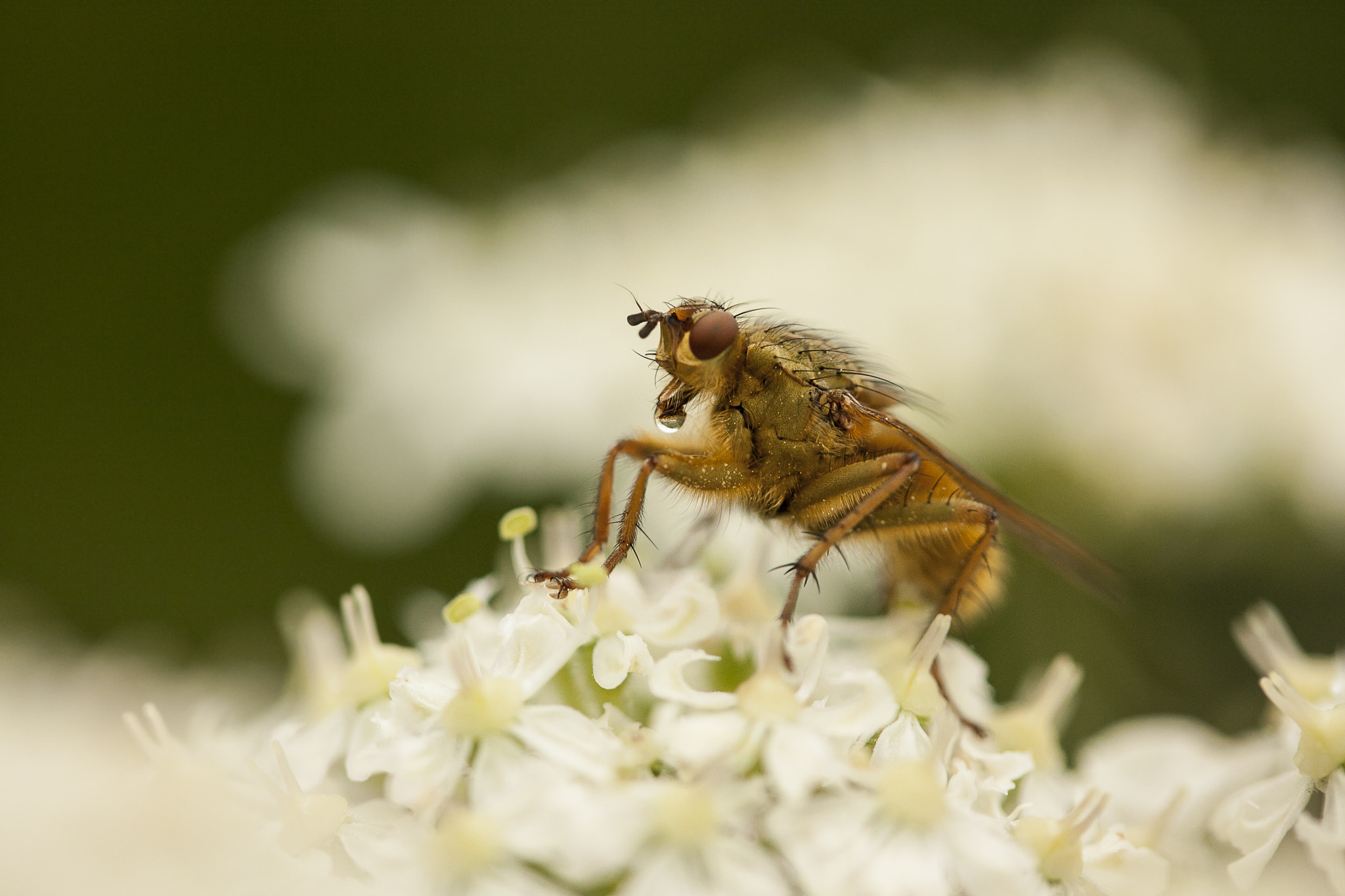 Photograph Scathophaga stercoraria - The Dung fly by Molly Michelin on 500px
