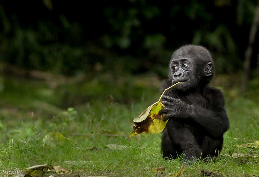 Photograph Baby Gorilla by Mickey   on 500px