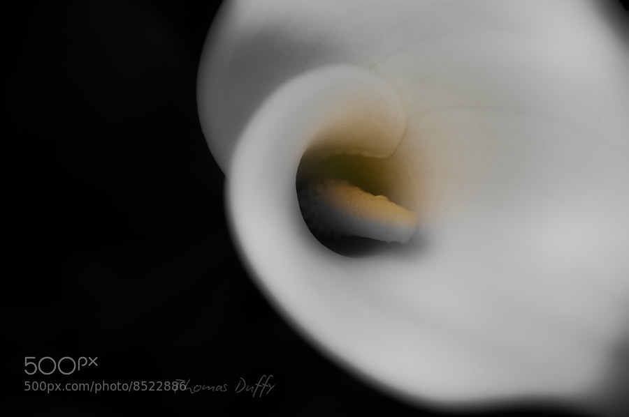 Photograph Calla lily by Thomas Duffy on 500px