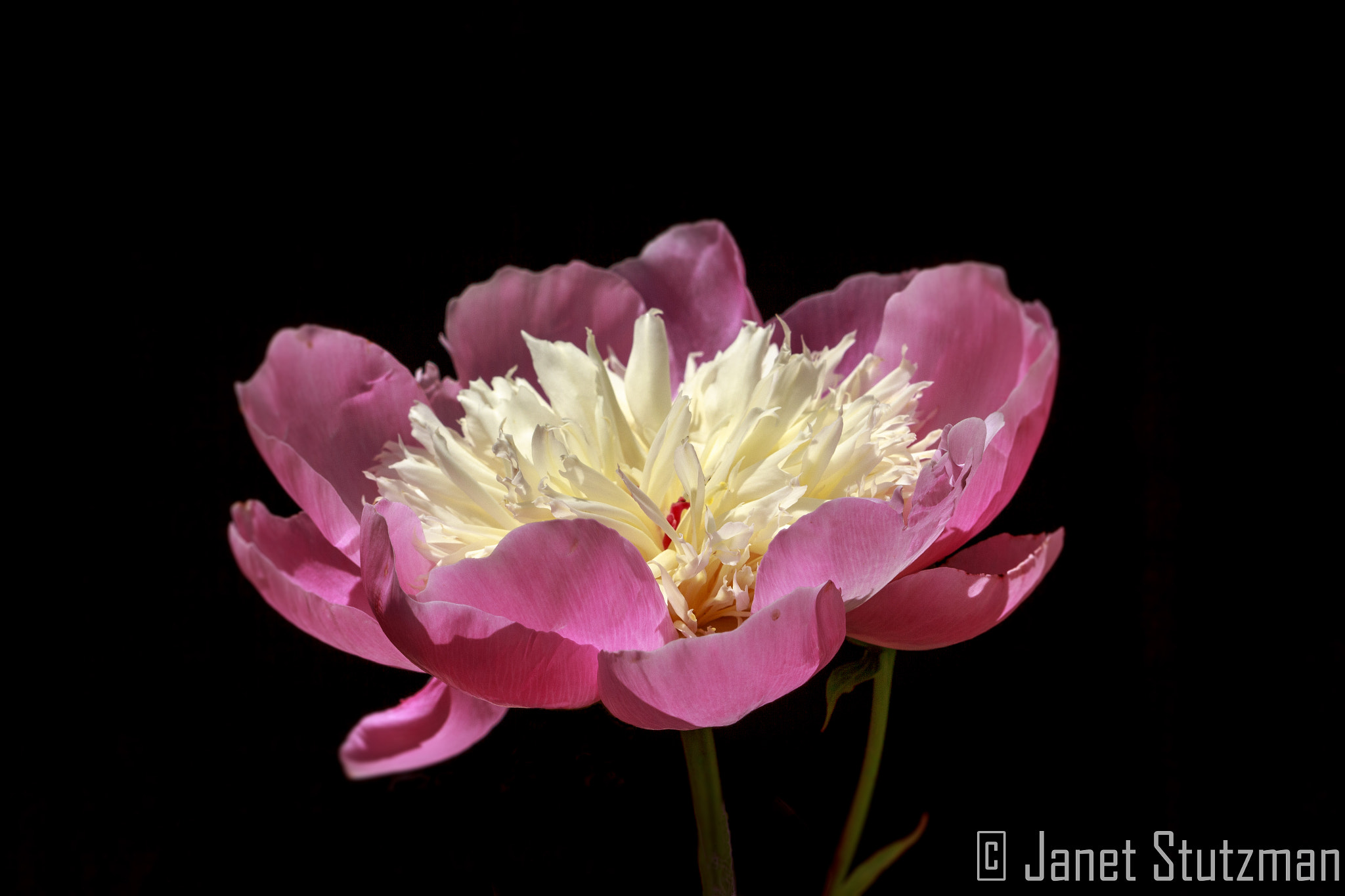 Photograph Pretty in pink! by Janet Stutzman on 500px