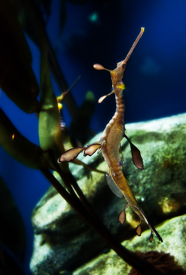 Photograph Sea Dragon by Bill Stone on 500px