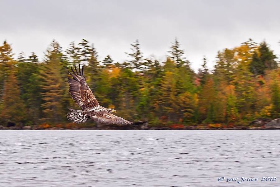 Photograph Bald Eagle Juvenile in the Fall by Wayne Jones on 500px