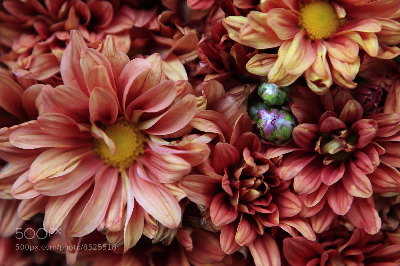 Photograph Wonderful daisies by Cristobal Garciaferro Rubio on 500px