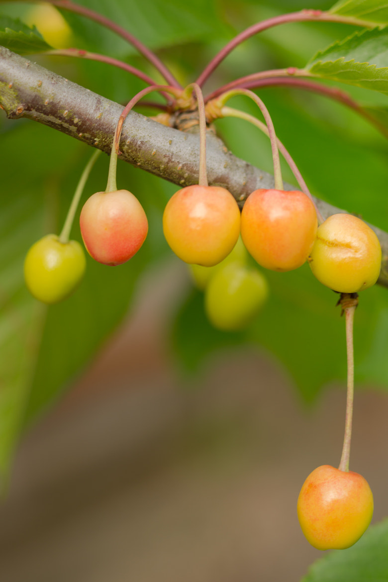 Photograph Future Cherries by Joseph Calev on 500px