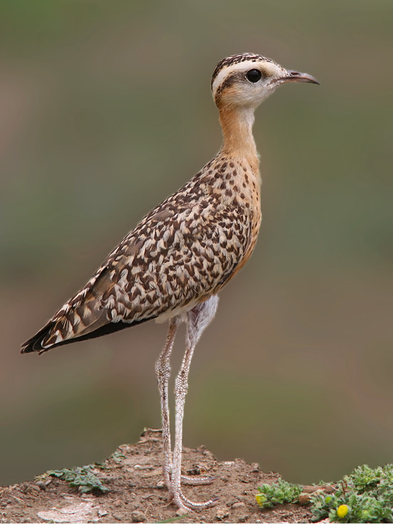 Photograph Indian Courser by Yuvraj Patil on 500px