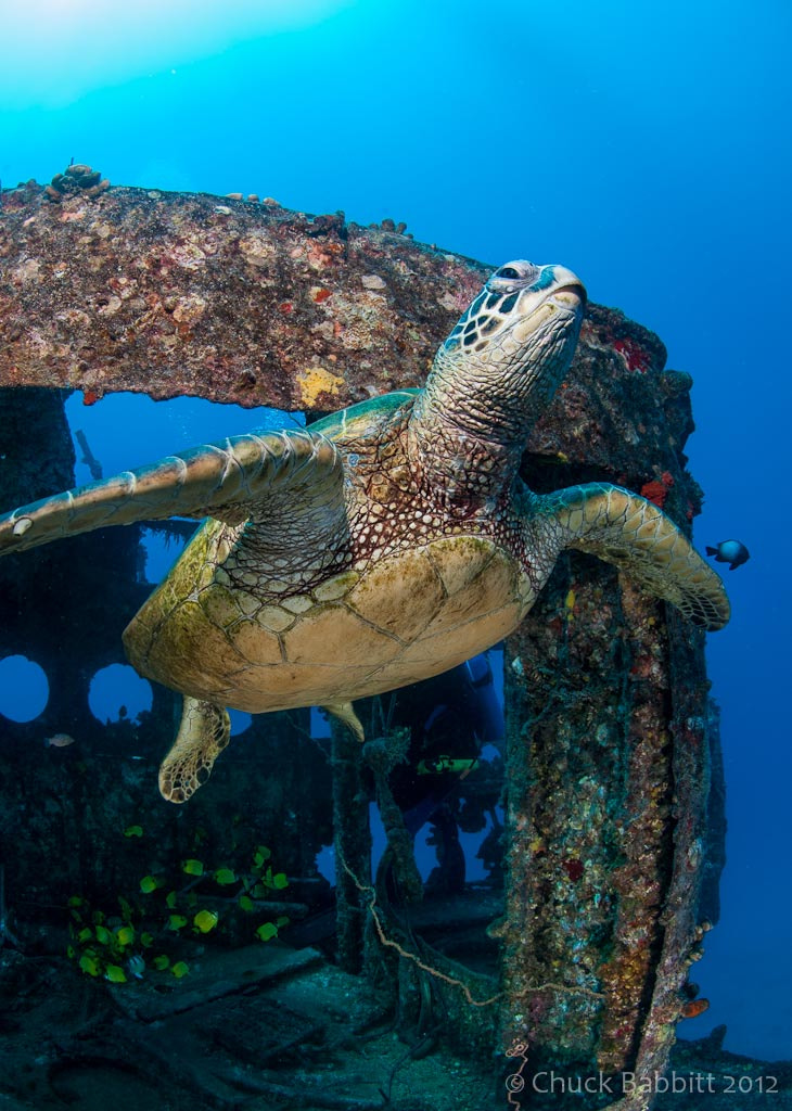 Photograph Green Turtle Ascending by Chuck Babbitt on 500px
