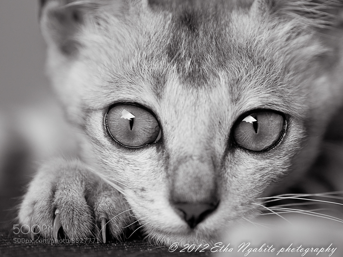 Photograph Kitten by Etha Ngabito on 500px