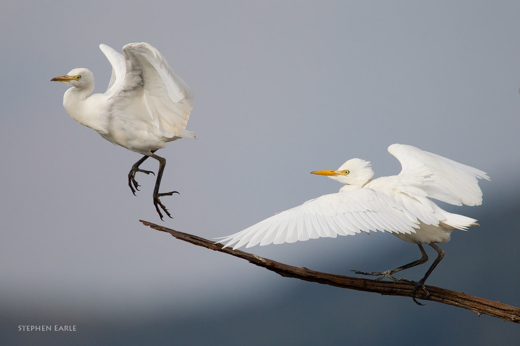 Photograph Cattle Egrets by Stephen Earle on 500px