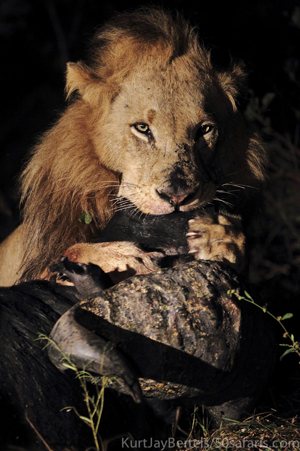 Photograph Lion kill by Kurt Jay Bertels on 500px