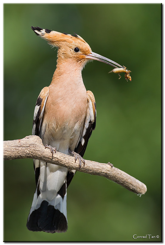 Photograph Hoopoe with lunch by Conrad Tan on 500px