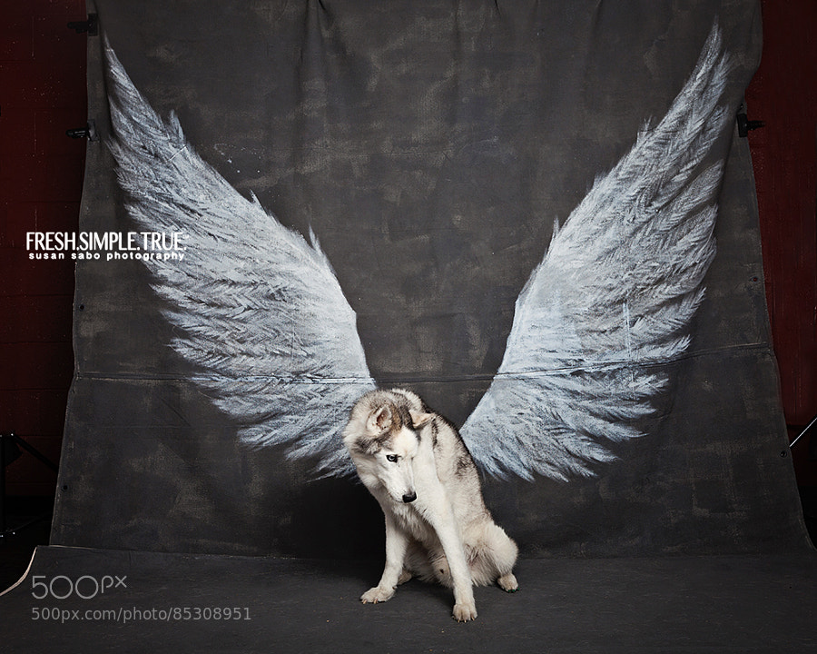 Shooter is one of the most remarkable dogs I've shot, and *the* most remarkable with the wings. He's a senior dog, and seniors are always special to photograph. But his photos make me gasp. The way he stands, the expression on his face, he is just stunning to me. It's like the wings are a part of him. I know he doesn't have a lot of time left, I'm so glad I was able to take this shot for his girl, Kyra.