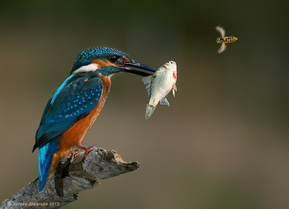 Photograph Common Kingfisher and wasp by Sergey Shkarupo on 500px