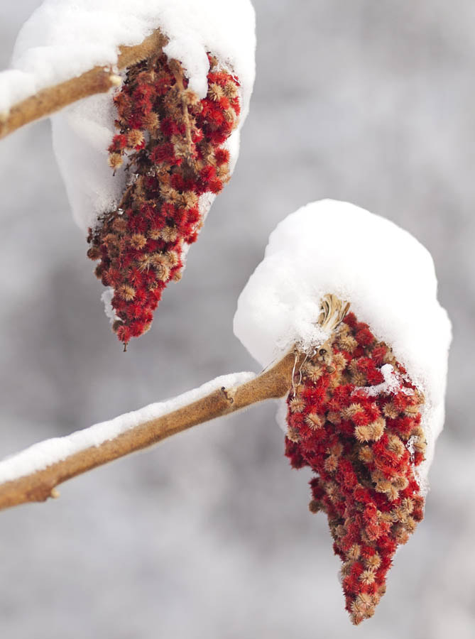 Photograph Sumac Snowcones by Peter Baumgarten on 500px