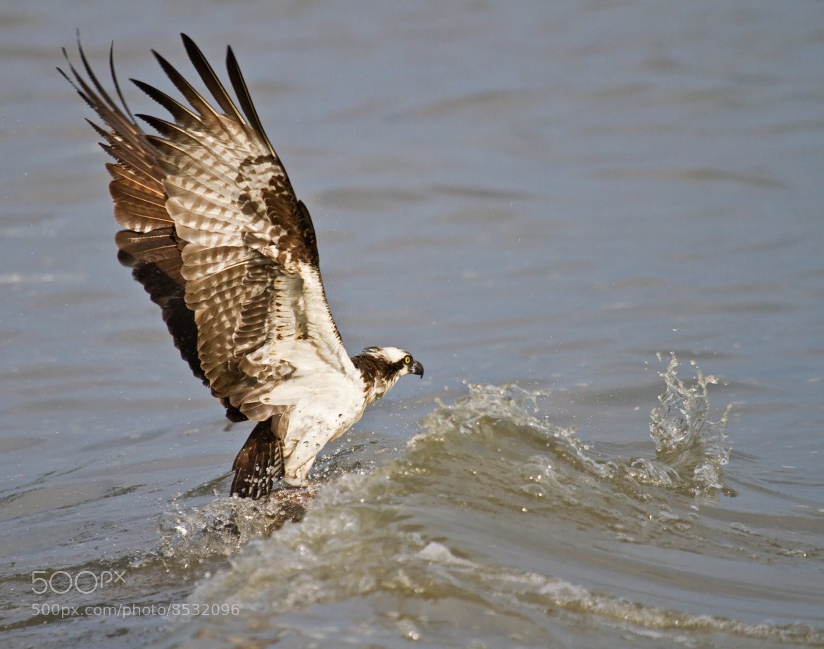 Photograph catching a fish by lorraine hudgins on 500px for Osprey catching fish