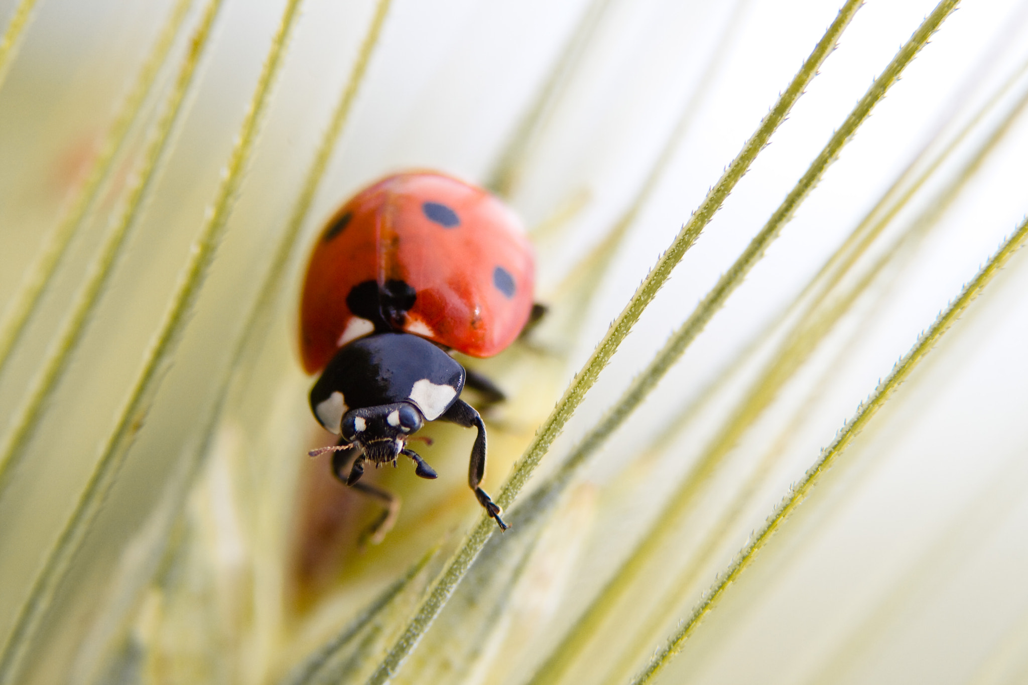 Photograph ladybird by Andrea Casati on 500px