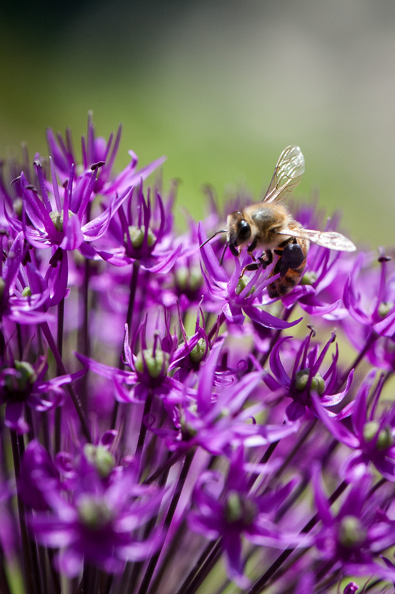 Photograph Hardworking Bee II by Justin Lo on 500px