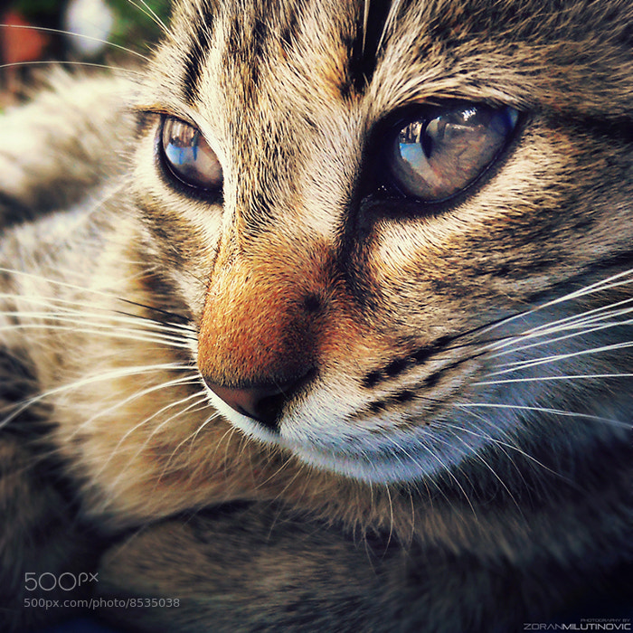 Photograph Thoughtful cat by Zoran Milutinovic on 500px