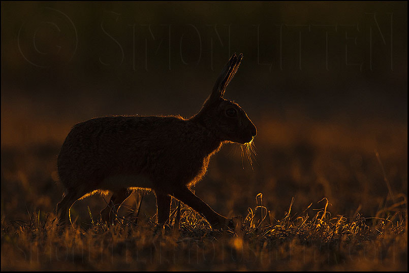 Photograph Hare at Dusk by Simon Litten on 500px