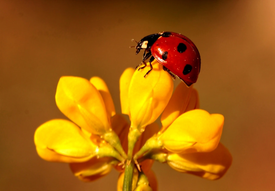 Photograph Ladybug. by Necdet Yasar on 500px