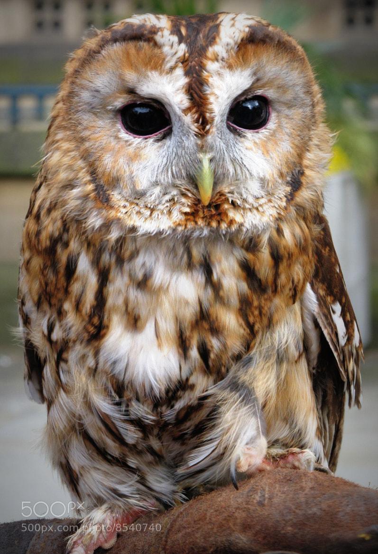 Photograph Tawny owl by Svetlana Roberts on 500px