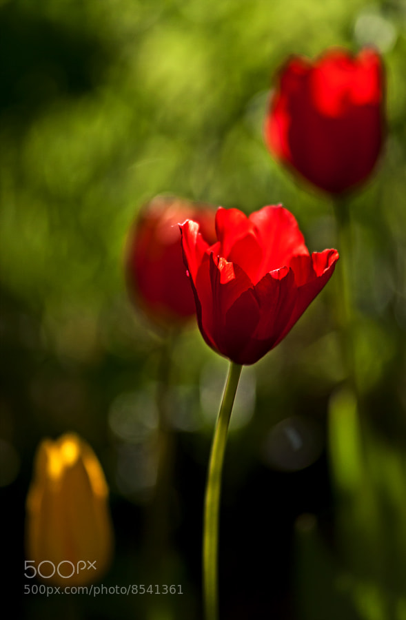 Photograph Tulips by Magnus Lögdberg on 500px