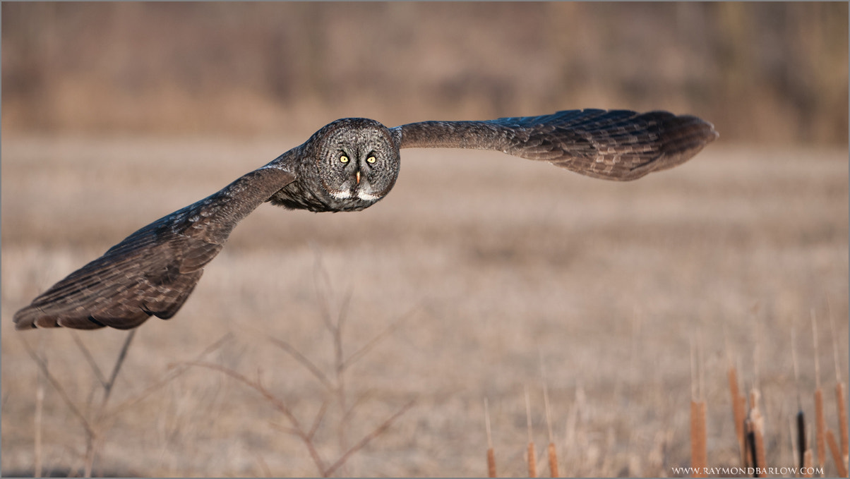 Photograph Great Gray Owl in Flight by Raymond Barlow on 500px