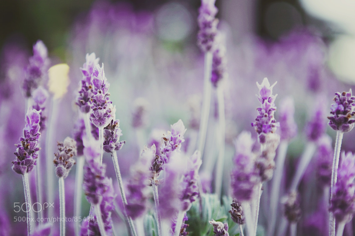 Photograph Lavender 2 by Jerome  on 500px