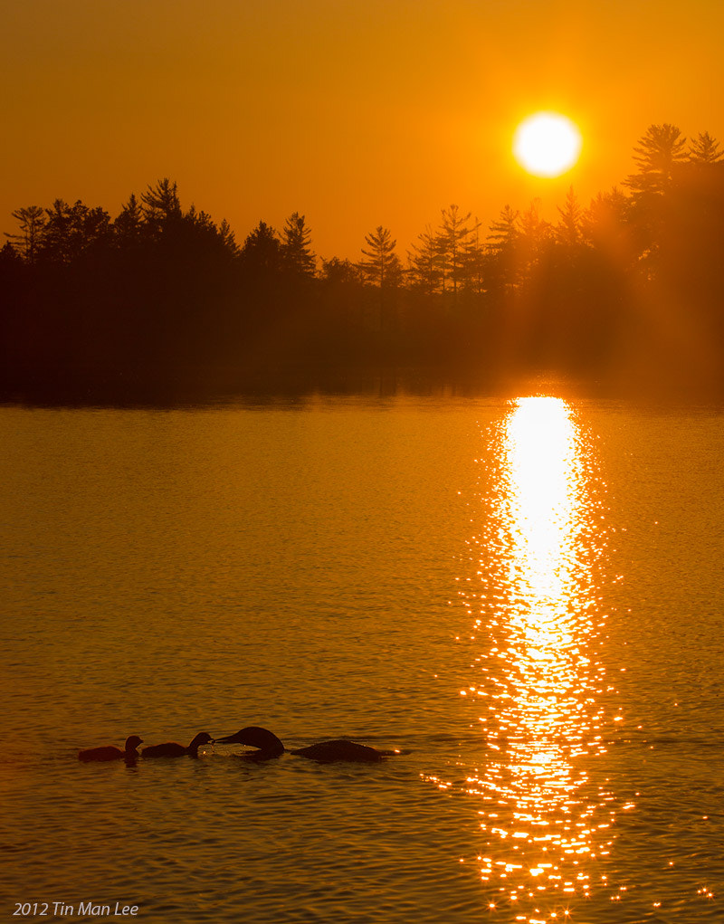 Photograph Loons Feeding at by Tin Man on 500px