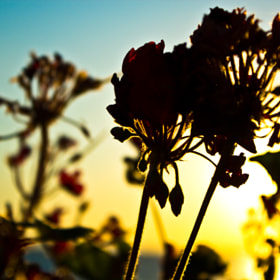 Sunset flower by erdem akkaya (erdemakkaya)) on 500px.com