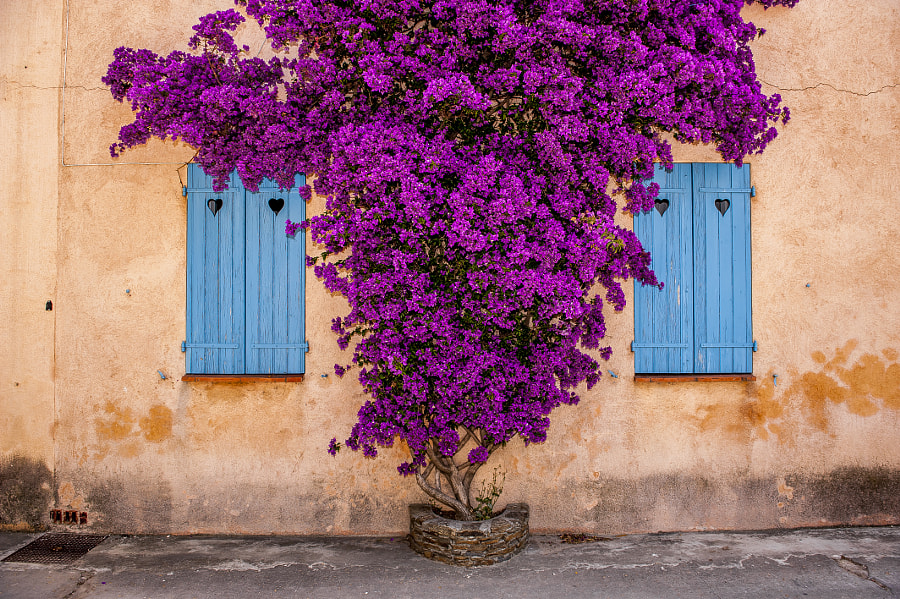 Photograph Bougainvillea by Mats Carduner on 500px