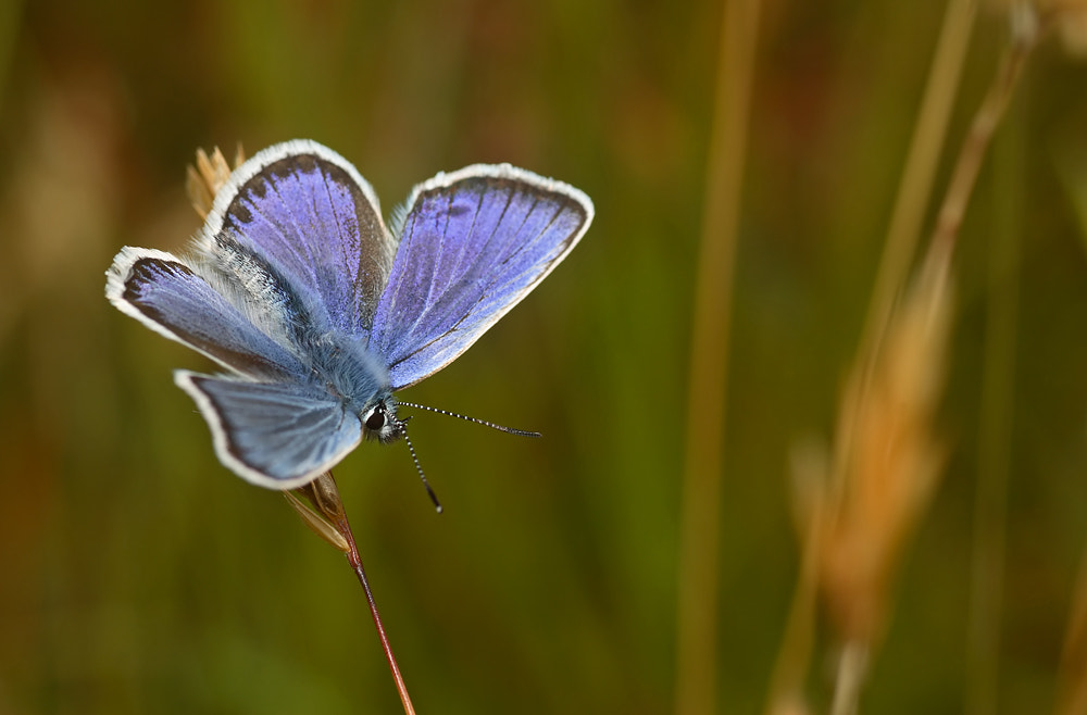 Photograph Silver Studded Blue by Alistair Campbell on 500px