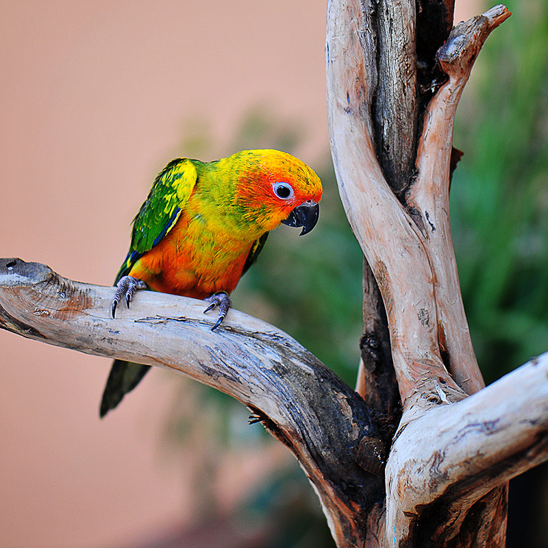 Photograph Sun conure by Abdul Ghani Alzahrani on 500px