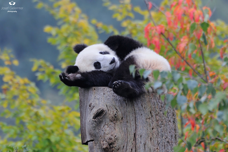 Photograph Comfy Panda Poser by Josef Gelernter on 500px