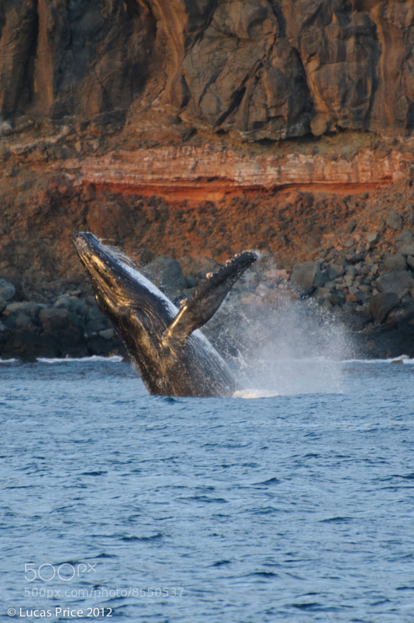 A humpback breaches near San Benedicto Island, Mexico