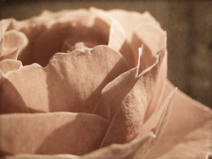Photograph Dusty Rose by Julia S on 500px