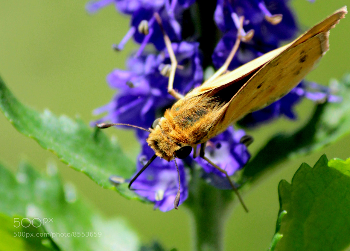 Photograph common moth by Wes Owen on 500px