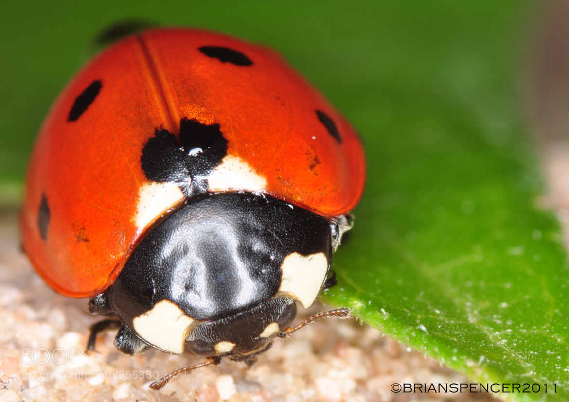 Photograph Lady Bug by B Spencer on 500px
