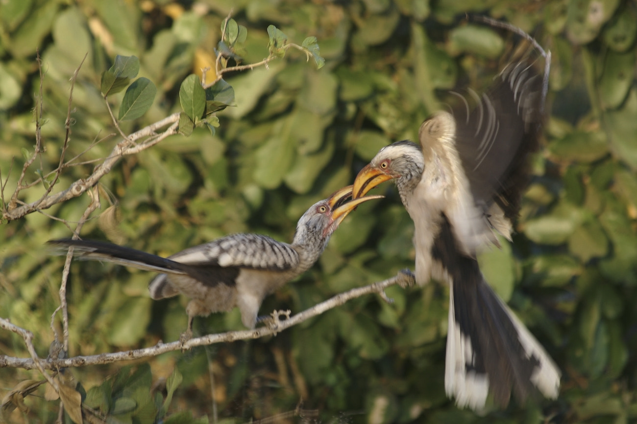 Photograph Yellow Hornbill Feeding by Henk Botha on 500px