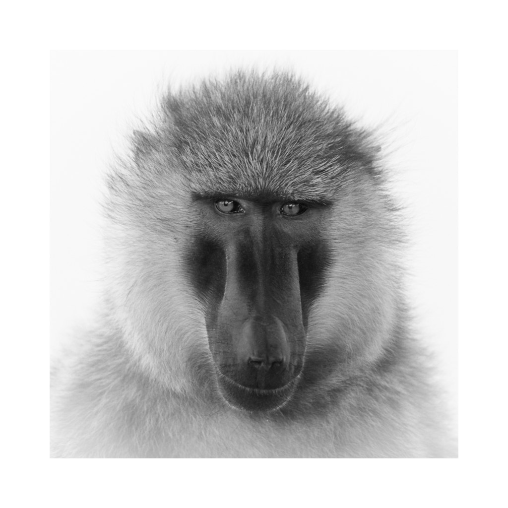 Photograph Baboon Portrait 1 by Lilian Blot on 500px