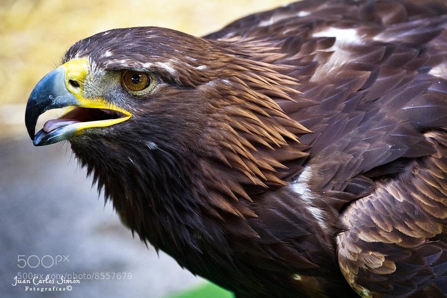 Photograph Alerta (Alert) - Aguila Real by Juan Carlos Simón on 500px
