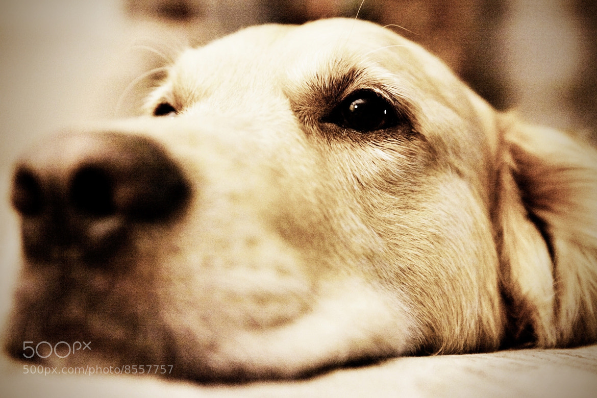 Photograph Goldenretriever by Elvan Okaygün on 500px