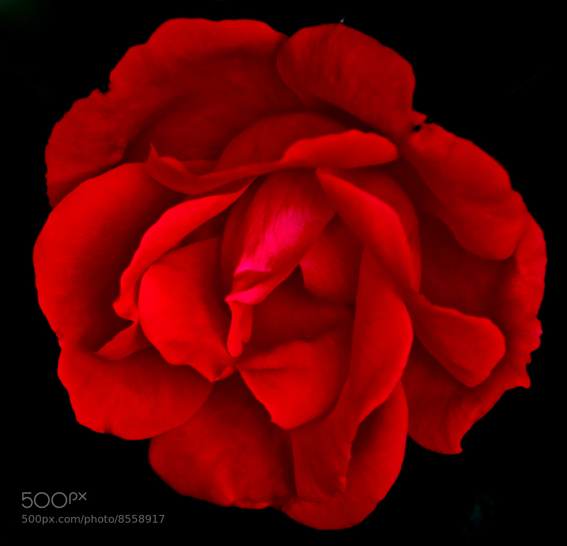 Photograph A Red Rose Darkly by Mark Luftig on 500px