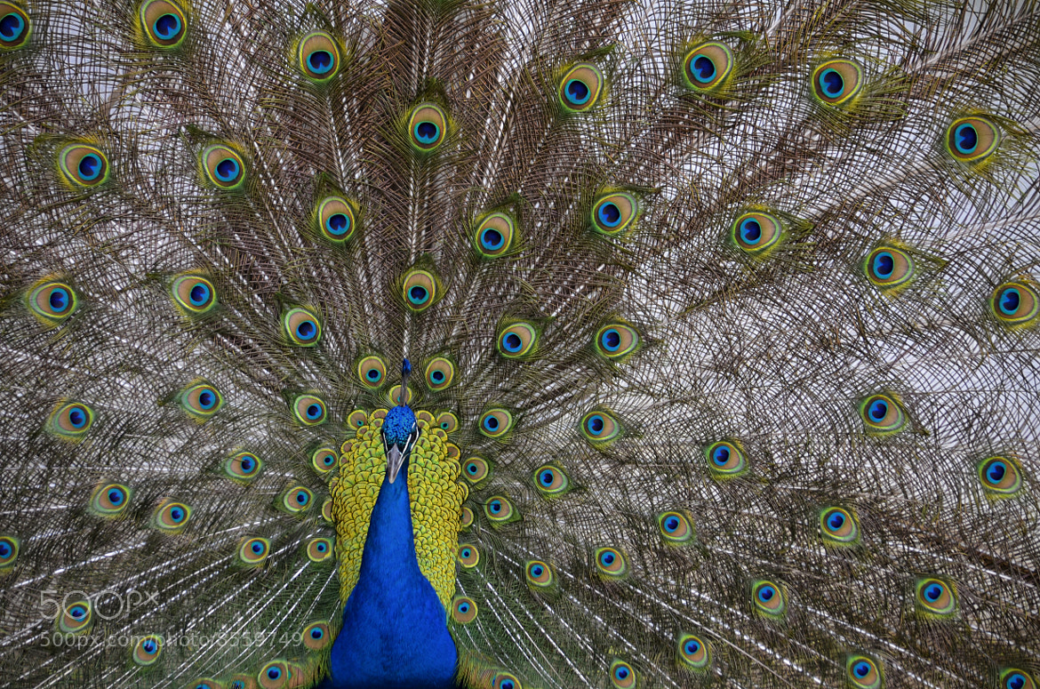 Photograph Peacock by Fábio Brandão on 500px
