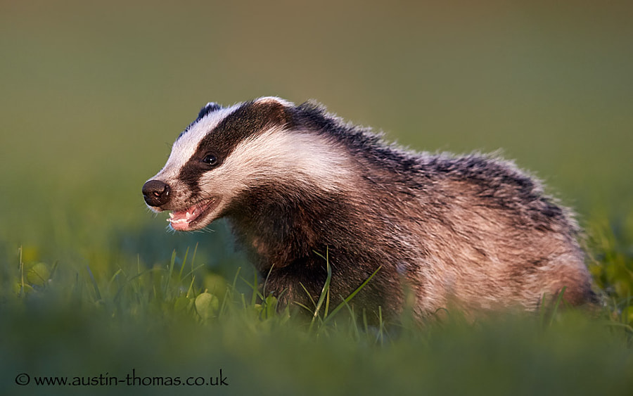 One for National Badger Day...