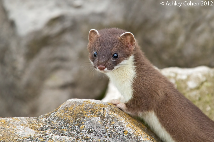 Photograph Stoat kit - Glaring Look by Ashley Cohen on 500px