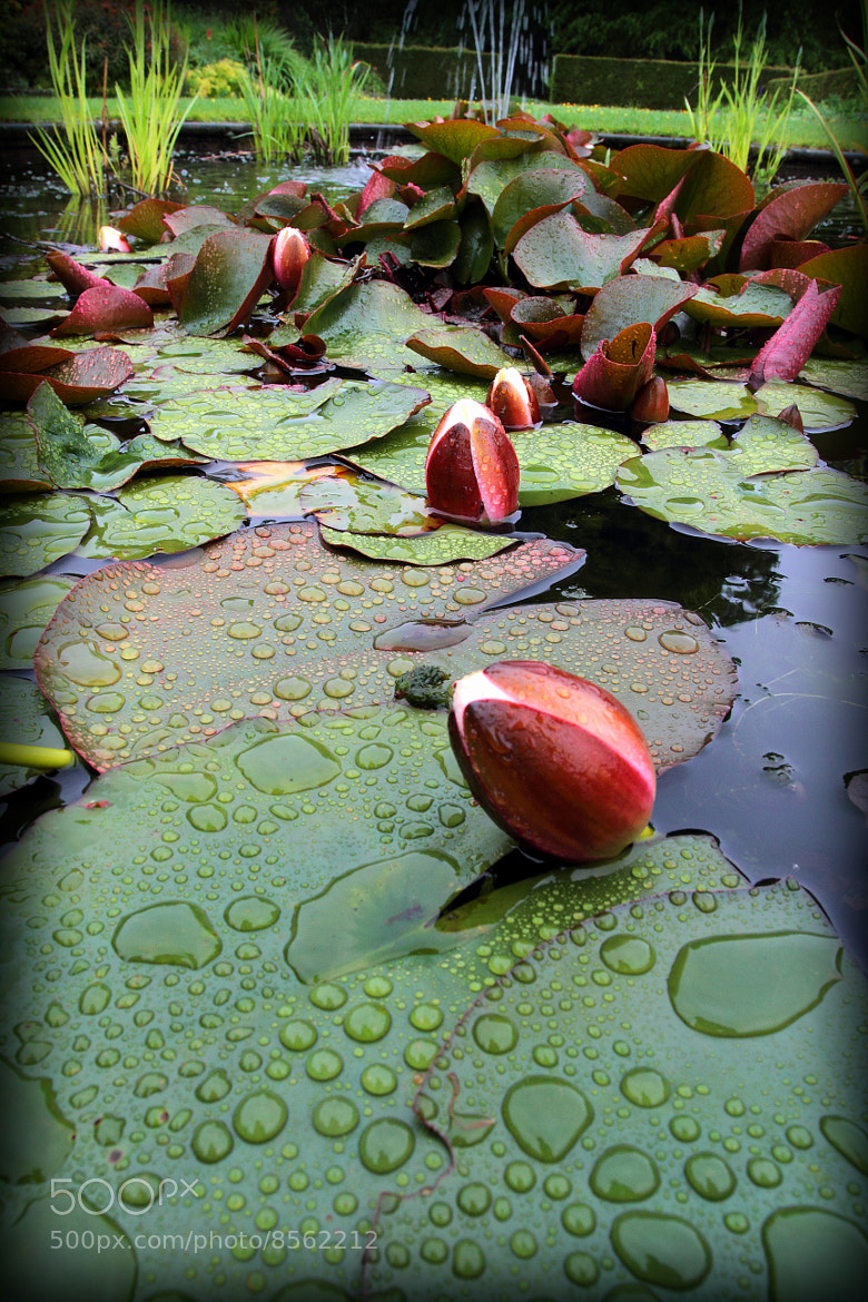 Photograph water lilies, after the rain by Gary Dixon on 500px