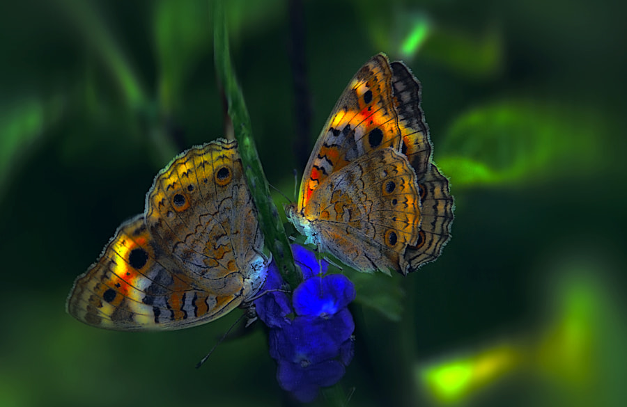 Photograph Digital Butterfles by Khoo Boo Chuan on 500px