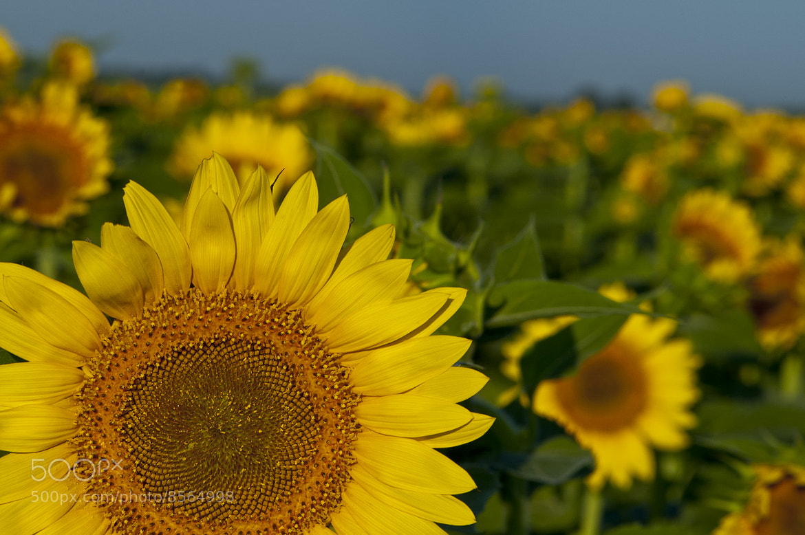 Photograph Sunflowers by john bingaman on 500px